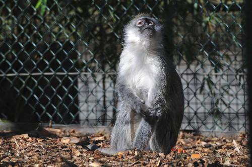 Grüne Meerkatze im Zoo in der Wingst