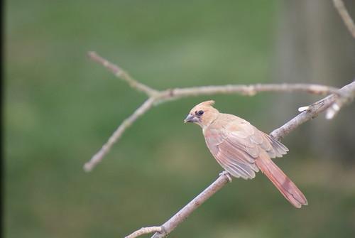 Immature/Juvenile Cardinal by deerhart23