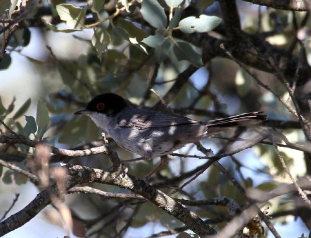 2012_06_15 LAT - Sardinian Warbler - male (Sylvia melanocephala) 01