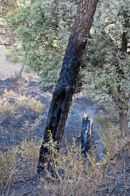 A Pine Tree - Snapped in Half and the other Singed by the fire - More Fires in the Himalayas - Dagshai HIlls photo photography Anoop Negi