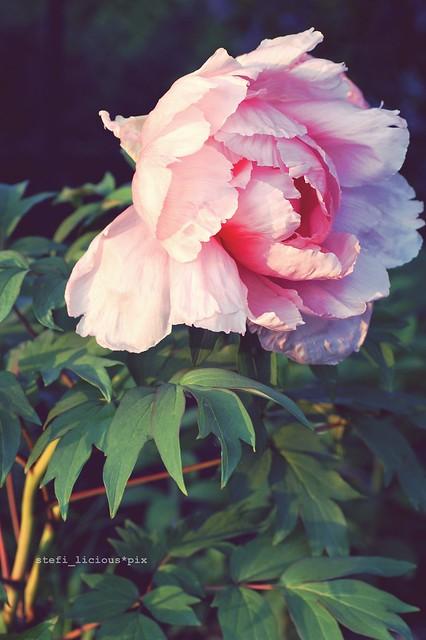 pfingst_rose_1