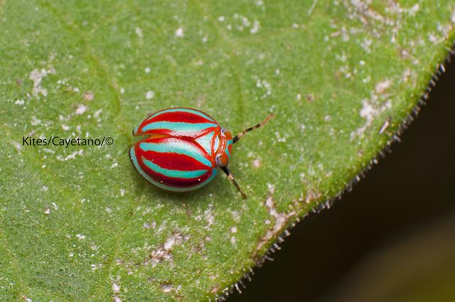 Beetle from Mt. Batulao