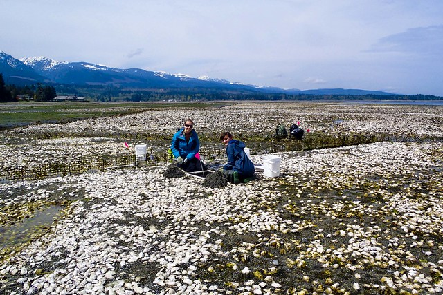 Undergraduate Research Assistants setting up experiment on oyster farm