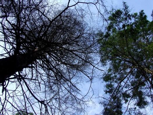 dead and living hemlock crowns