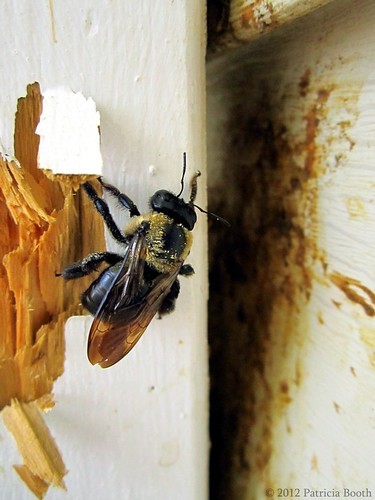 Day 143 Wood Boring Bee by pixygiggles