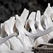 Sun-bleached whale bones