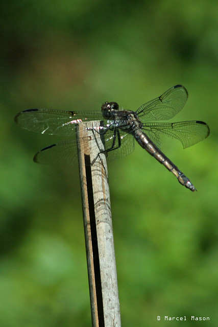 wounded dragonfly