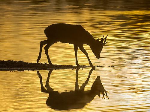 Roe deer stag - silhouette