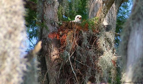 Hawk Nest @CBBR - IMG_9120 60D
