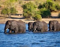 Elephant crossing - Chobe National Park, Botswana