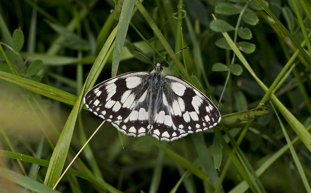 Marbled White male
