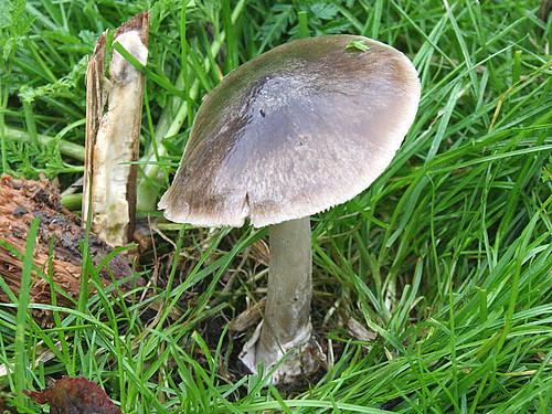 Stubble Rosegill Volvariella gloiocephala Tophill Low NR, Nov 12