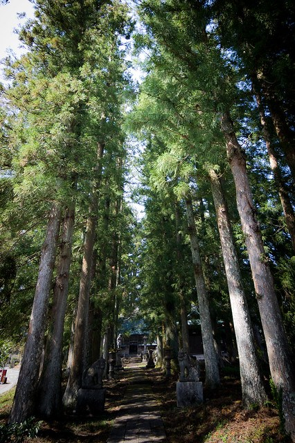 #32 The Married Couple Cryptomeria of Kurokawa Shrine