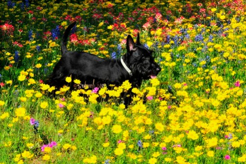 Scottish Terrier and Wildflower