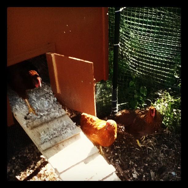 Chickens.