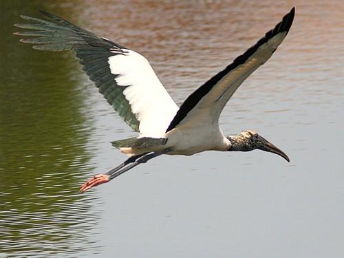 Wood Stork in flight 20120725
