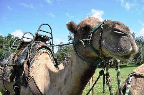 Hello, Dufus, the Camel. Giraffe Ranch, Dade City, Fla.