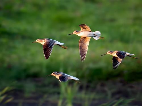 Flying Greenshank