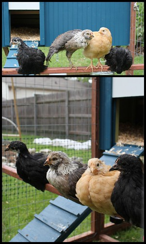 20120429. The chickens move outside for good.