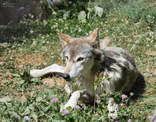 Timberwolf by mypixelizedview