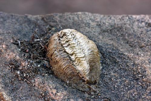 Mantis egg case (ootheca)