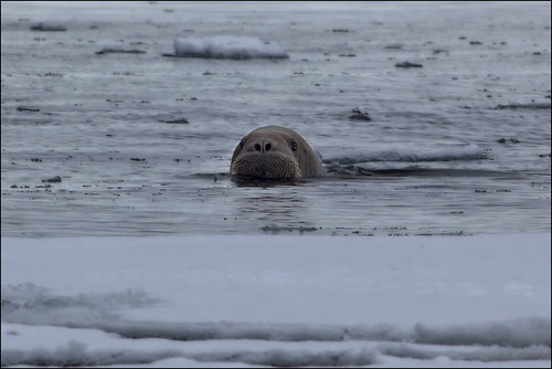 a juvenile walrus