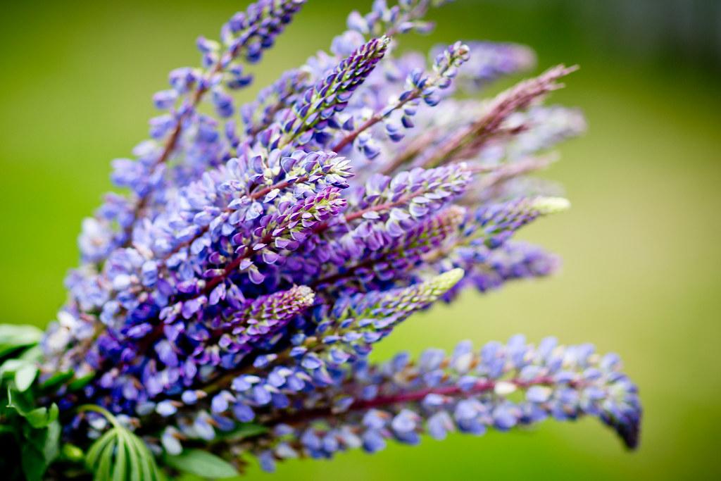 Wildflower Bouquet Arctic Lupins Purple Flowers Pretty