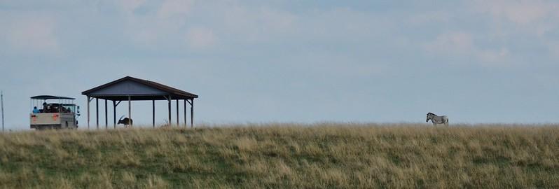 Zebra on the Hill