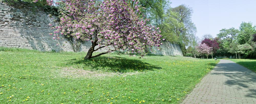 Baumblüte in den Soester Wallanlagen