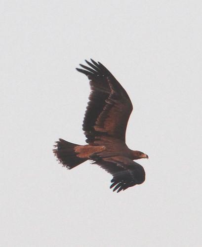 2012_07_17 CdC - Spanish Imperial Eagle - juvenile (Aquila adalberti) 04