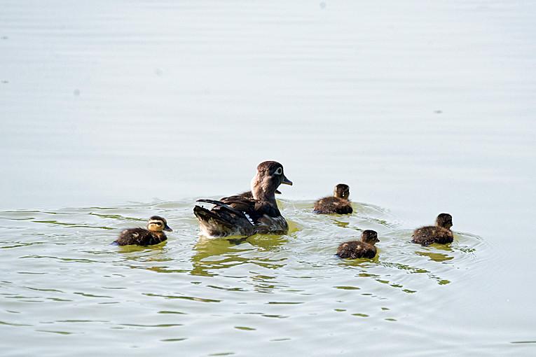 _DSC0953 Wood Duck (f)