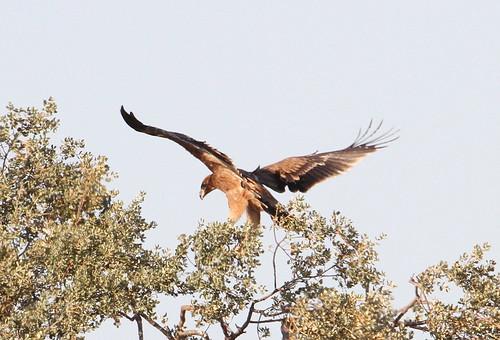 2012_07_17 CdC - Spanish Imperial Eagle - juvenile (Aquila adalberti) 01