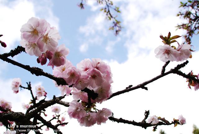 在阿里山派出所旁的櫻花。