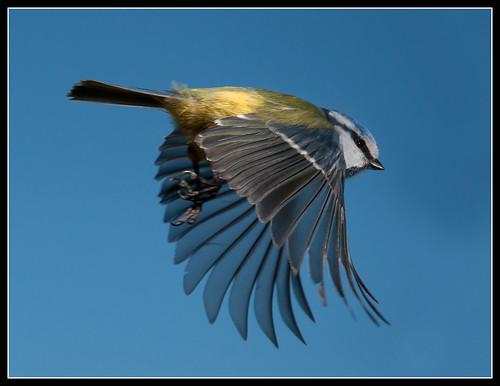 Blue Tit In Flight by jonny.andrews65