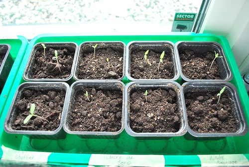 tomato seedlings