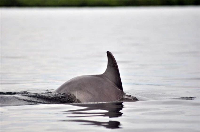 La Bahía de los delfines es el refugio de cientos de familias de delfines que juguetean con las embarcaciones Bocas del Toro, escondido destino vírgen en Panamá - 7598231994 36a8bcfb32 o - Bocas del Toro, escondido destino vírgen en Panamá