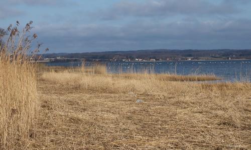 Præstø Fjord harvested reeds