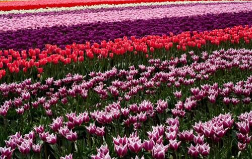 Tulip Festival. Skagit County, Washington
