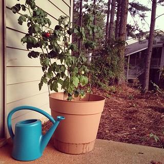 My Cherry Tomato Plant, Miraculously Still Alive