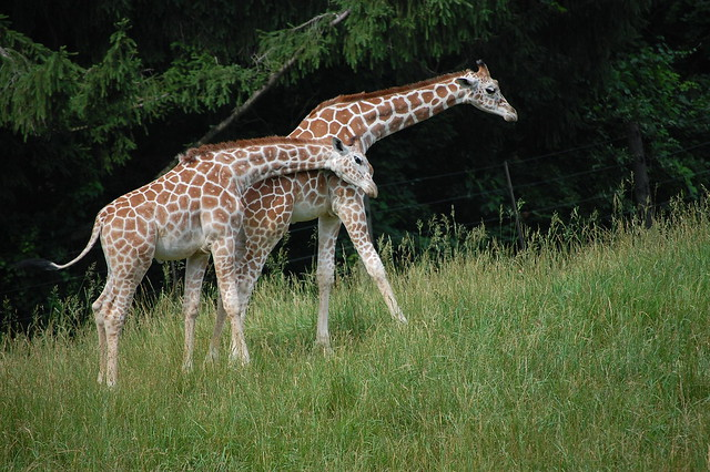 Photo:giraffe By:sadiehart