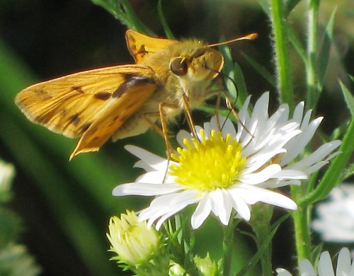 Little Golden Butterfly Sipping Nectar in Natural Habitat by Rosa Blue