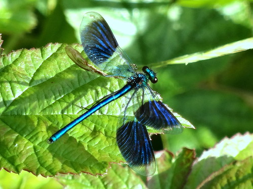 Banded Demoiselle by tomp77
