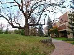 Whittemore Library oak tree