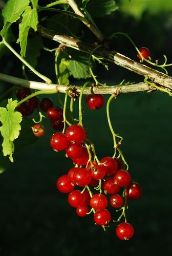 DSC_1340-red-berries