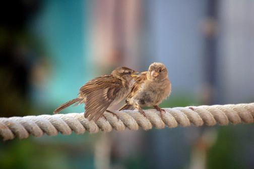 young sparrow and mother
