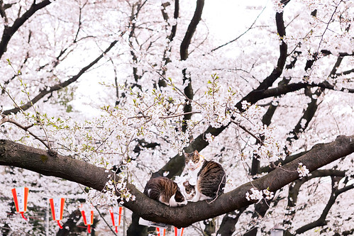 Cats & Cherry Blossoms in Tokyo
