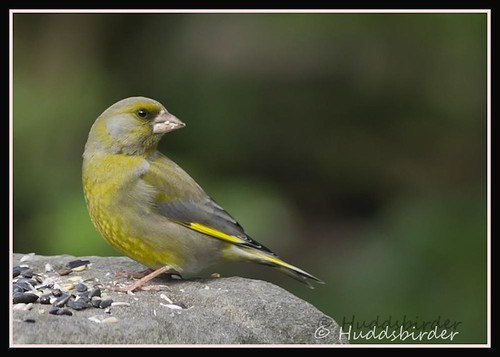 Greenfinch ♂