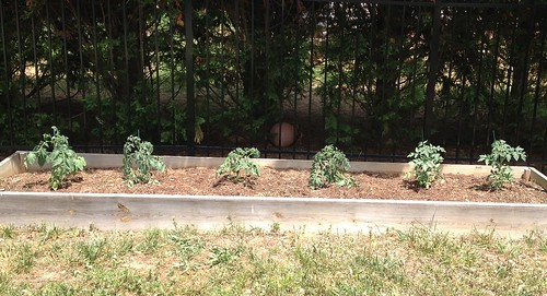 Wilting Tomato Plants