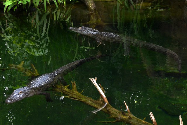 Floating 'Gators