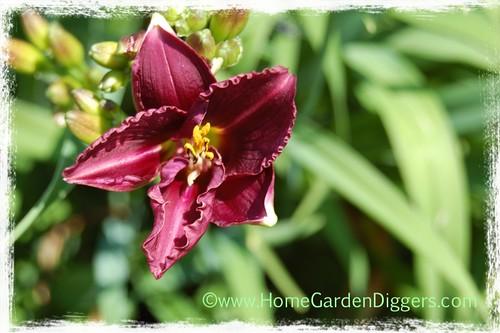 Purple Daylily